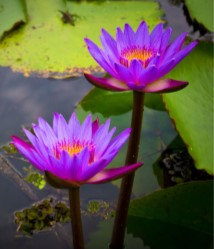 Franciscan Retreat Media - Lily pads in bloom
