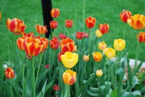 Register for a Day of Prayer - Tulips